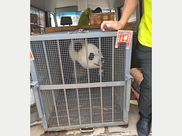 大熊猫乘坐济南空运公司航班顺利抵达四川